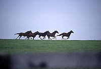 Yearling thoroughbreds race along a ridgetop on a Kentucky farm.