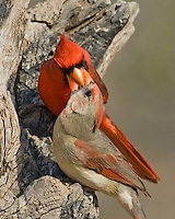 Male Northern Cardinal feeds the female.