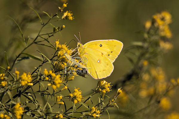 Clouded Sulphur butterfly (Colias philodice) sips on goldenrod nectar (Solidago sp.), September, Rondeau Provincial Park, southwestern Ontario, Canada.  As goildenrod pollen is too sticky and heavy to be dispersed on the wind, the plant relies for pollination on the numerous insects who feast on its pollen and/or nector.