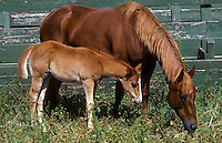 COLT & MARE side by side grazing - SALINAS, CA