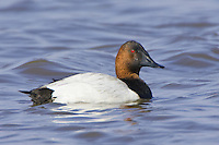 Canvasback swimming on a lake