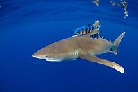 oceanic whitetip shark,Carcharhinus longimanus, accompanied by pilotfish (Naucrates ductor), open ocean, Hawaii ( Central Pacific Ocean )