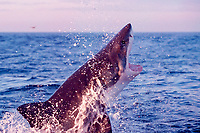 great white shark, Carcharodon carcharias, breaches to attack South African (Cape) fur seal pup, Arctocephalus pusillus pusillus, False Bay, South Africa (4 of 5)