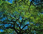 Savanna, GA<br /> Spreading canopy of Live Oak (Qurecus virginiana) in Reynolds Square city park