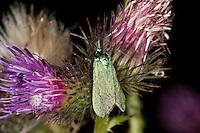 Ampfer-Grünwidderchen, Grünwidderchen, Grasnelken-Widderchen, Widderchen, Adscita statices, Procris statices, Zygaenidae, Blütenbesuch an Distel, forester, common forester