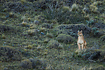 Mountain Lion (Puma concolor) female in pre-andean shrubland, Torres del Paine National Park, Patagonia, Chile