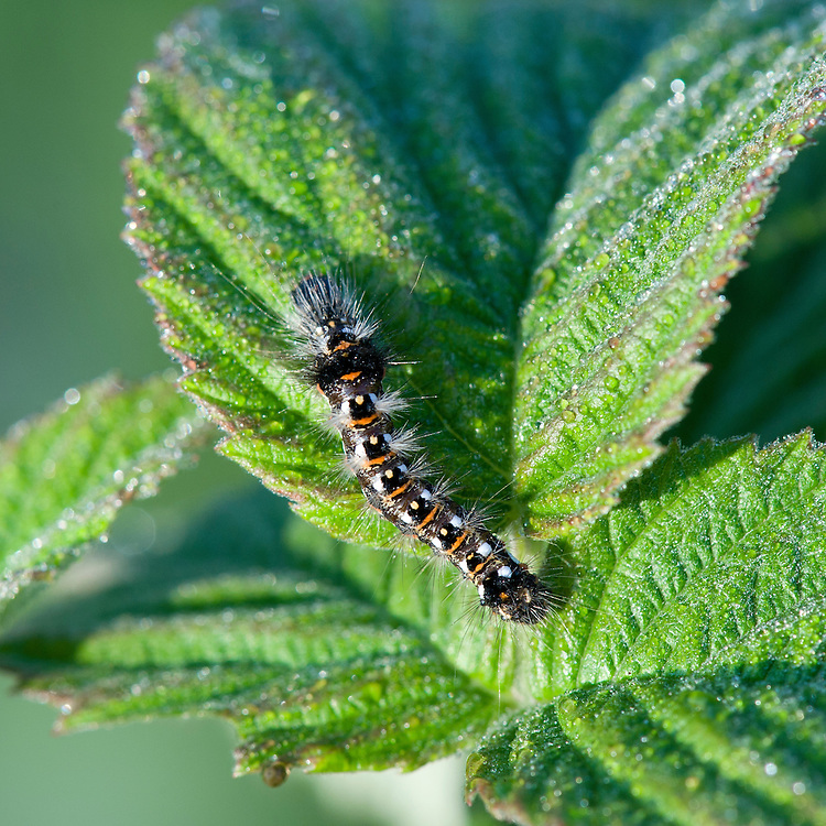 Knot grass moth caterpillar (Acronicta rumicis) on raspberry, late September. http://ukmoths.org.uk/show.php?id=795