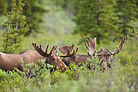 Two bull moose feed in the tundra and taiga, Denali National Park, Interior, Alaska