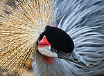 A crane tilts its head. You can see beautiful feathers on the top of its head.