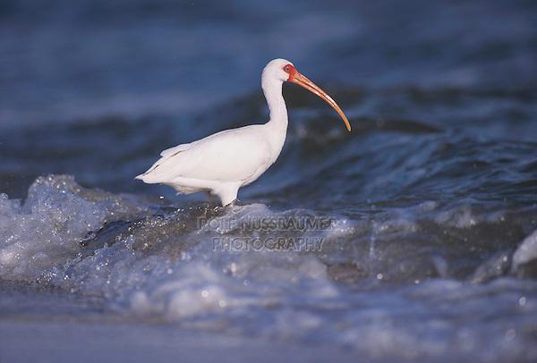 White Ibis, Eudocimus albus,adult feeding at shoreline, Sanibel Island, Florida, USA