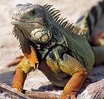 USA, Florida, Gruener Iguana (Iguana iguana) | USA, Florida, Green Iguana (Iguana iguana)