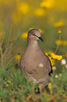 White-tipped Dove, Leptotila verreauxi,adult in flowers, Starr County, Rio Grande Valley, Texas, USA, May 2002