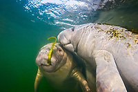 Florida manatee, mother and calf, feeding on seagrass, Trichechus manatus latirostris, a subspecies of the West Indian manatee, Kings Bay, Crystal River, Florida, USA, Gulf of Mexico, Atlantic Ocean