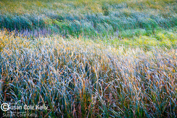 Wind-blown grass at Sandbar National Wildflife Area.
