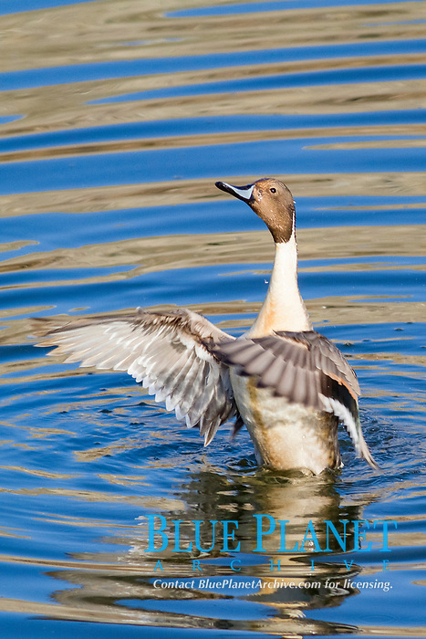 bird, Male Northern Pintail Duck in the water wing flapping, Anas acuta, Bolsa Chica Wetlands, California