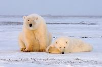 polar bear, Ursus maritimus, mother with yearling cub on the pack ice, 1002 coastal plain of the Arctic National Wildlife Refuge, Alaska, polar bear, Ursus maritimus