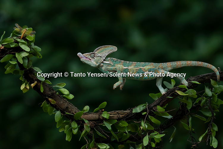 SEQUENCE 2 OF 9:  A chameleon balances on a thin branch as it catches a dragonfly with its long and sticky tongue.  The brightly patterned reptile leans forward to strike at the small orange insect.<br /> <br /> The images were captured by professional photographer Tanto Yensen, in Jakarta, Indonesia.   SEE OUR COPY FOR DETAILS<br /> <br /> Please byline: Tanto Yensen/Solent News<br /> <br /> © Tanto Yensen/Solent News & Photo Agency<br /> UK +44 (0) 2380 458800