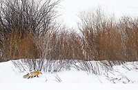 I had zero opportunities to photograph foxes during my January visit, but they began to reemerge in time for my February trip.