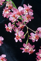 Oncidium Twinkle orchids in pink and red blooms