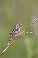 Grasshopper Sparrow (Ammodramus savannarum pratensis), Eastern subspecies perched on a stem and singing in a New Jersey grassland.