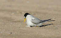 Least Tern (Sterna antillarum), adult sitting on nest, South Padre Island, Texas, USA