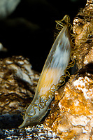 chain catshark, Scyliorhinus retifer (c) Photo of the shark egg case with embryo visible. Also known as a Mermaids Purse.