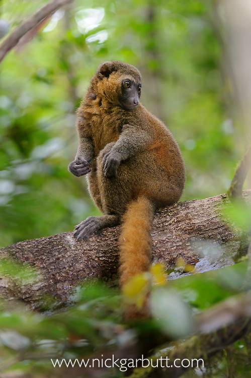 Adult golden bamboo lemur (Hapalemur aureus) in forest understory. Ranomafana National Park, south east Madagascar.