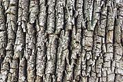 Bark of a mature White Ash - (Fraxinus americana) - along the Attitash Trail in Bartlett, New Hampshire USA