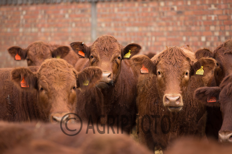 20 month old stabiliser cattle in a straw yard<br /> Picture Tim Scrivener 07850 303986