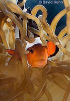 0321-1130  False Percula Clownfish (Ocellaris Clownfish), Amphiprion ocellaris, with Bulb-tipped Anemone, Entacmaea quadricolor  © David Kuhn/Dwight Kuhn Photography