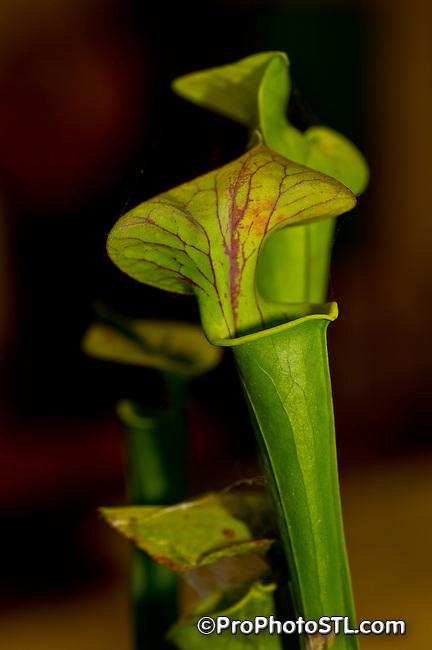Sarracenia alabamensis