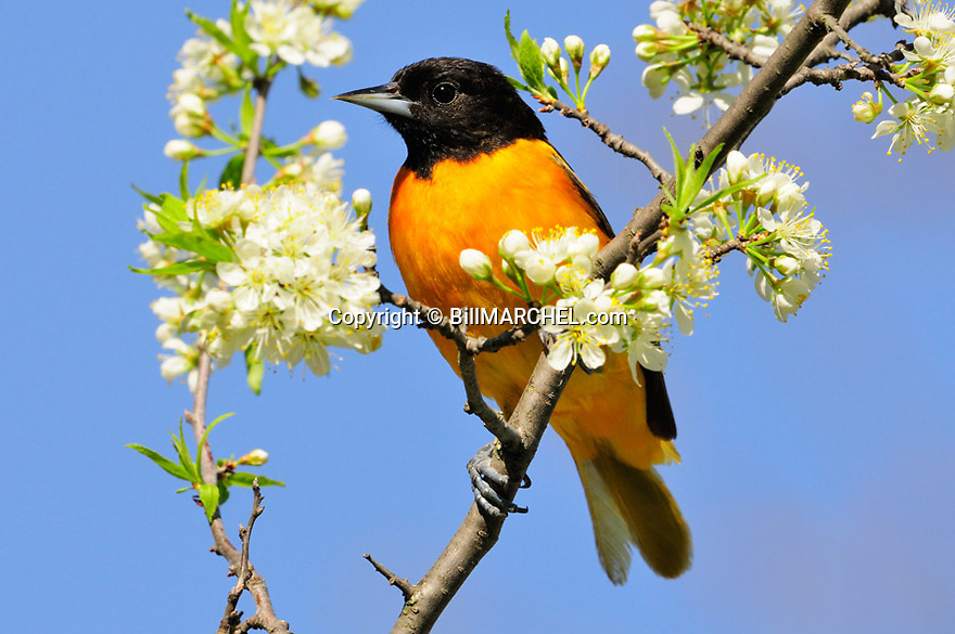 00865-028.12 Baltimore Oriole male is perched in plum tree in bloom. Spring, orange, white, songbird.
