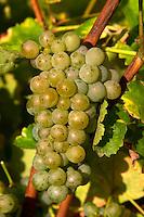 Bunches of ripe grapes. Sauvignon Blanc. Chateau de Tracy, Pouilly sur Loire, France