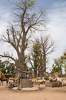 Village Well, Cattle, Baobab Trees at Djilor, a Wolof Village, near Kaolack, Senegal. DOZENS MORE OF IMAGES RELATED TO MILLET CULTIVATION ARE AVAILABLE.  WHAT DO YOU NEED?