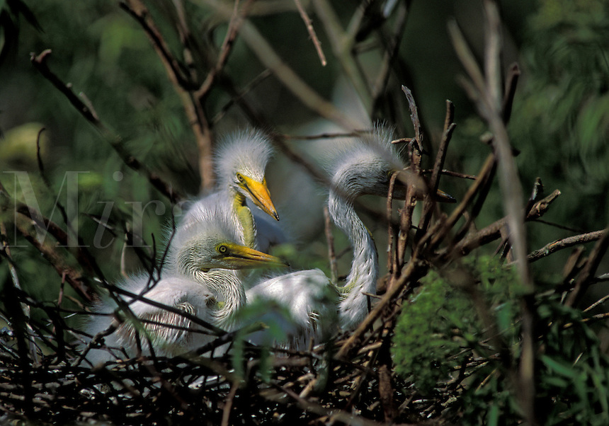 Great Egret (Casmerodius albus), young in the nest, south Florida
