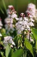 Fieberklee, Bitterklee, Menyanthes trifoliata, Bogbean, Water Trefoil