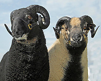 Three Counties Show.....Badger Faced sheep. Torwen type (left) and Torddu.