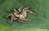 0115-1001  Tan Jumping Spider, Platycryptus undatus  © David Kuhn/Dwight Kuhn Photography