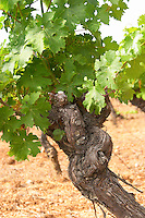 Domaine du Mas de Daumas Gassac. in Aniane. Languedoc. Vine leaves. Old, gnarled and twisting vine. The Peyrafioc vineyard, the first one planted, in 1972. France. Europe. Vineyard.