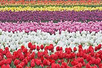 Field of multi colored tulips . Tulip Town. Mt. Vernon. Washington