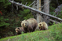 Grizzly bear sow with cub (Ursus arctos), Northern Rockies.