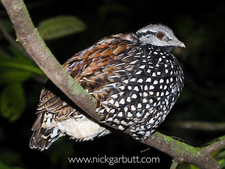 Latham's Forest Francolin (Francolinus lathami) roosting at night at Langoue Baie, Ivindo National Park, Gabon, Central Africa.