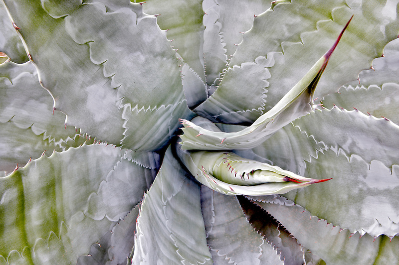 Agave (Agave colorata) in Tucson Botanical Gardens. Tucson. Arizona