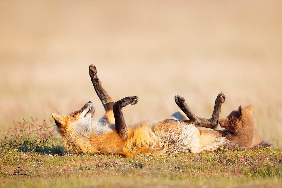 Red Fox Families