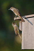 Brown-crested Flycatcher, Myiarchus tyrannulus, pair at nest box, Willacy County, Rio Grande Valley, Texas, USA, June 2006