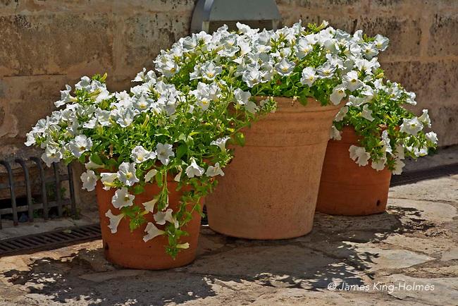 White petunia, Es Baluard, Palma de Mallorca, Spain