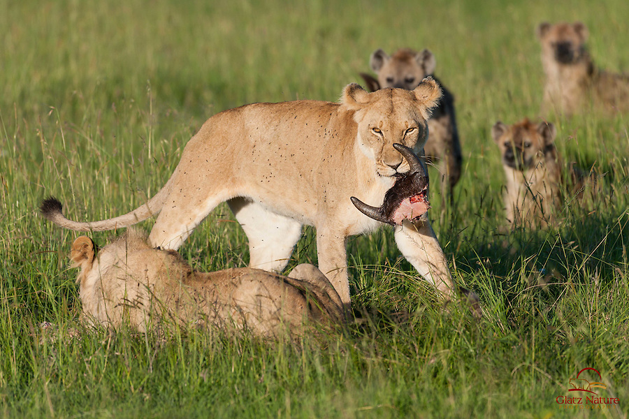 Lioness (Panthera leo) makes off with the slim remains of a Cape Buffalo her pride killed the night before, while her nemesis the Spotted Hyenas circle the kill, Masai Mara