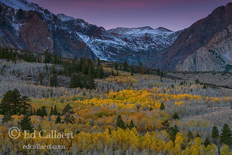 Dawn, Aspen, Populus Tremula, Parker Bench, John Muir Wilderness, Inyo National Forest, Eastern Sierra, California