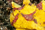 Yellow painted frogfish or anglerfish (Antennarius pictus) on the sand.