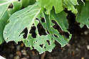 Cabbage leaves eaten by the caterpillars of large and small white cabbage butterflies, late August.